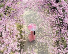 南京樱花绽放春光烂漫 游人徜徉粉色仙境(组图)