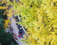 秋意浓 金陵城中最大的银杏林进入观赏佳季(组图)
