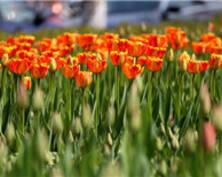 入春啦!南京郁金香花开朵朵报春(组图)