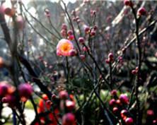 乍暖还寒,南京古林公园梅花初绽放(组图)