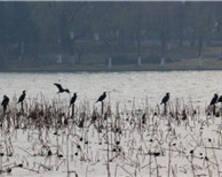 壮观!南京玄武湖近百只鸬鹚聚集(组图)
