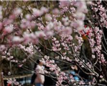 早樱、山茶绽放 游人踏青赏花享美丽春景(组图)