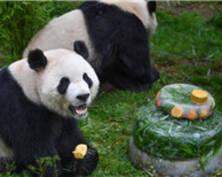 大熊猫迎4岁生日 享用特制冰蛋糕