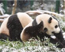 """来看落雪的动物园!大熊猫""""和和""""雪天兴奋撒欢"""