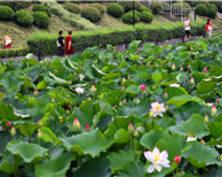 南京:东郊明珠月牙湖荷花绽放(组图)