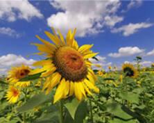 南通百亩向日葵悄然绽放 蜜蜂飞舞花间(组图)