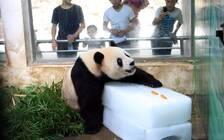 武汉动物园回应熊猫疑遭虐待:熊猫送回四川休养 饲养员停职