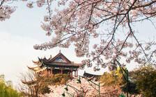 踏青赏花模式开启 武汉因樱花季成热门目的地