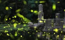 在南京古寺(墓)看萤火   是浪漫还是刺激?