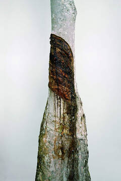大理影会:橡胶树