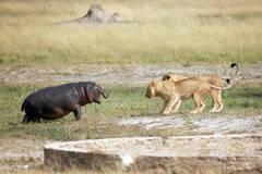 狮子欲捕食小河马的结果