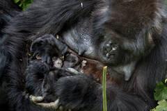 大猩猩的母爱