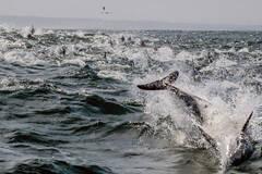 千只海豚捕食场景