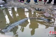 湖北宜昌一渔民钩起1.2米长江鲶