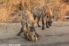 鬣狗叼母狮头颅恐吓狮群