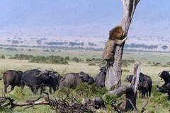 狮子因被野牛群追赶而逃到树上