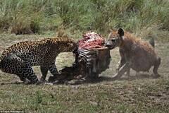 鬣狗抢夺猎豹食物画面