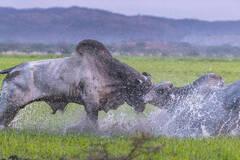 两头公牛为争夺配偶恶斗一幕