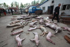 电线漏电致上百头猪遭电击