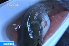 黑龙江捕获1.7米罕见巨型鲶鱼
