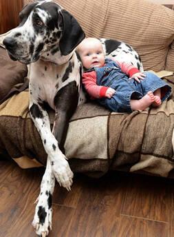 大丹犬看护7月大女婴