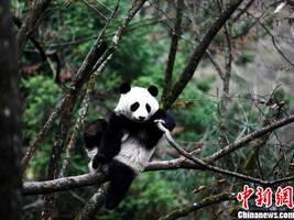 """大熊猫""""八喜""""""""映雪""""本月下旬将同时放归大自然"""