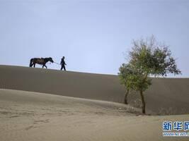 """守护""""沙漠英雄树""""26年:最难受的是看到胡杨死去"""