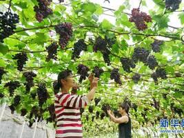 """河北滦州:果蔬种植鼓起农民""""钱袋子"""""""