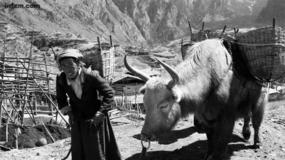 甘南纪事:一条人命的命价是八十头牛?
