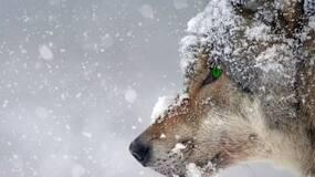 可是,并不是每个男人都像一匹狼那样啊!