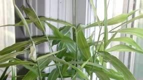 全国人民都在种生姜盆景,比富贵竹好看,埋一小块收获8斤!