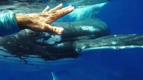鲸鱼是真的想帮潜水者鲨口脱险吗?