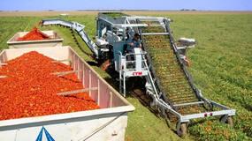 超市里的番茄为啥是方的?一部机器引发的番茄革命和农业变革