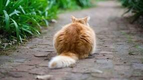 猫为什么要摇尾巴?