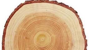 树木长寿之谜:或因抗病基因扩张|Nature 自然科研