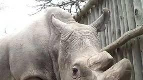 北白犀的一线希望:辅助生殖技术培养杂交胚胎|Nature 自然科研