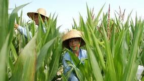 科研玉米被盗,不能全怪农民