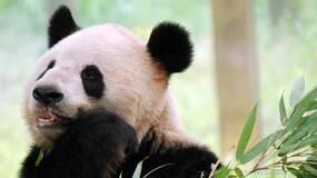 为什么人类可以直立行走?大熊猫或许能告诉你答案