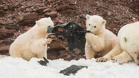 早安·世界|海洋污染严重,塑料垃圾成小北极熊玩具