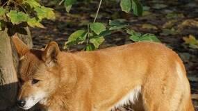 尼安德特人会使用工具取火、澳洲野狗抵达澳洲或仅三千余年|Nature自然科研