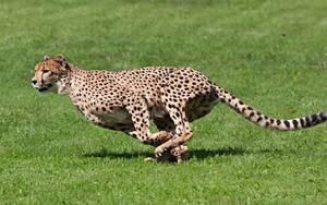 黑曼巴,獵豹尾,科比投籃時的右腿