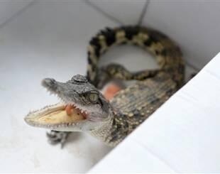 小鳄鱼被装鞋盒丢小区垃圾堆物管报警,成都动物园收留