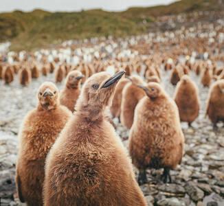 一大波企鹅宝宝组团卖萌~原来小企鹅都是棕色的!