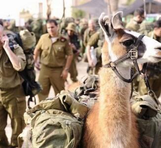 羊驼从陆军退役  军中还有哪些神奇动物?