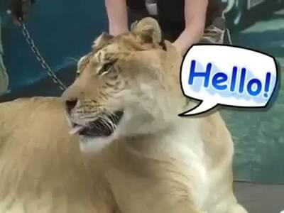 世界上最大的猫科动物狮虎兽-hao123网络视频排行