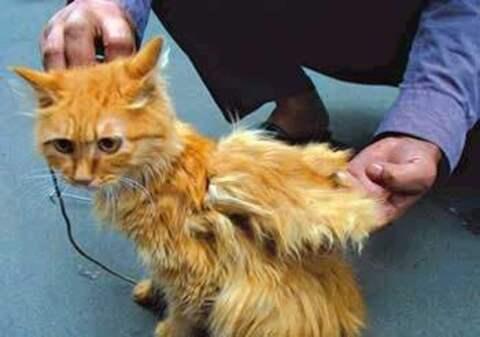 中国出现过天使猫吗?