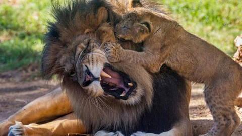 小宝宝扮成小狮子 这下大狮子可不淡定了