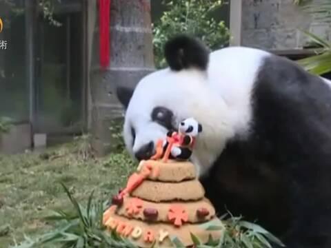 福州熊猫「巴斯」贺37岁生日 获全球最长寿记录