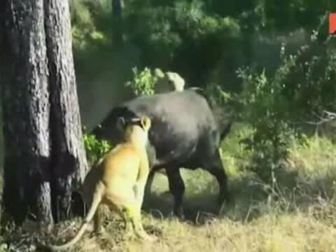 非洲水牛遭饿狮捕食骑背围攻