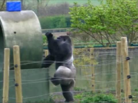 英国动物园银背大猩猩ambam